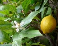 """Эфирное масло """"Лимон"""" (Франция)"""